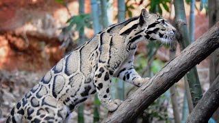 Дымчатый леопард.