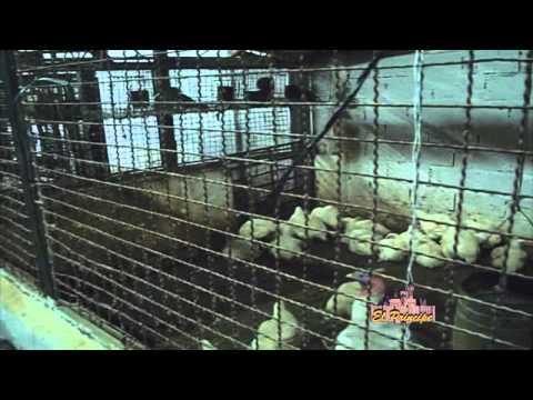 Producción y comercialización avícola del pollo