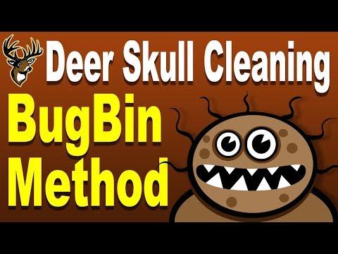 European Mount Deer Skull Cleaning Using Bugs - Bug Bin Method