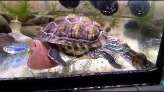 Красноухая черепаха против улитки катушки