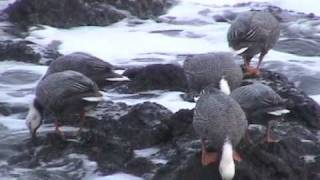 Emperor Goose family group foraging on Shemya Island, AK