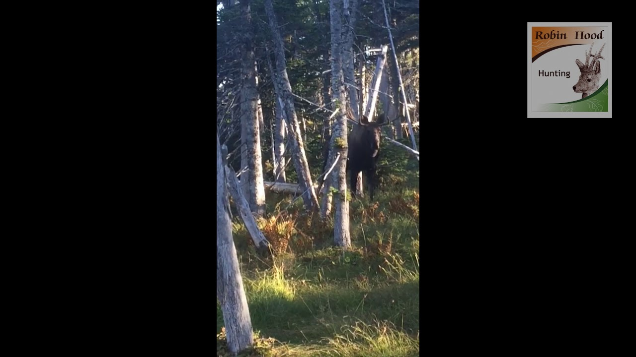 Moose hunting in New Foundland with Robin Hood Hunting Agency