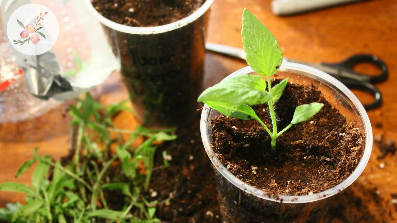 Kitchen Garden Seeds Winter Sowing Tomato Seeds Results Potting Up Kitchen Garden