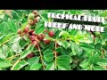 Tropical Fruit Trees and more Fall update 2018