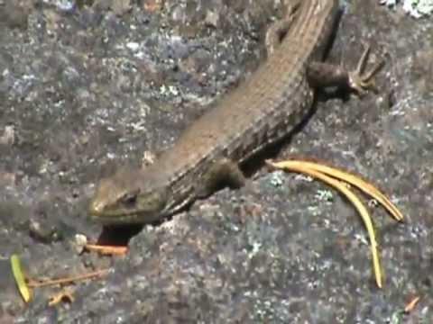Northwestern Alligator Lizard On A Petroglyph
