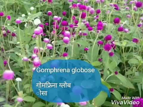 NO-48 How to grow/care/use of Gomphrena globosa/Globe amaranth/Bachelor button/गोमफ्रिना ग्लोबोसा.