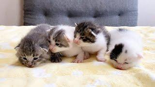 赤ちゃん猫、みんな目が開きました