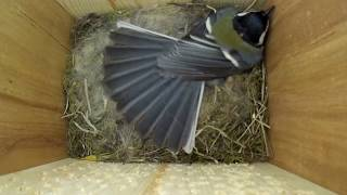 Синица защищает кладку яиц ( Parus major )