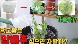 양배추 키우기 양배추심지를 심으면 양배추가 자랄까? (…