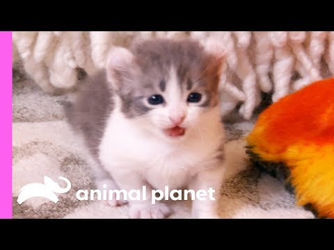 Adorable American Curl Kittens Explore Their Home | Too Cute!