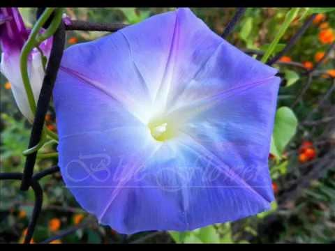 Blue Flower O beauty infinity Music of Sri Chinmoy