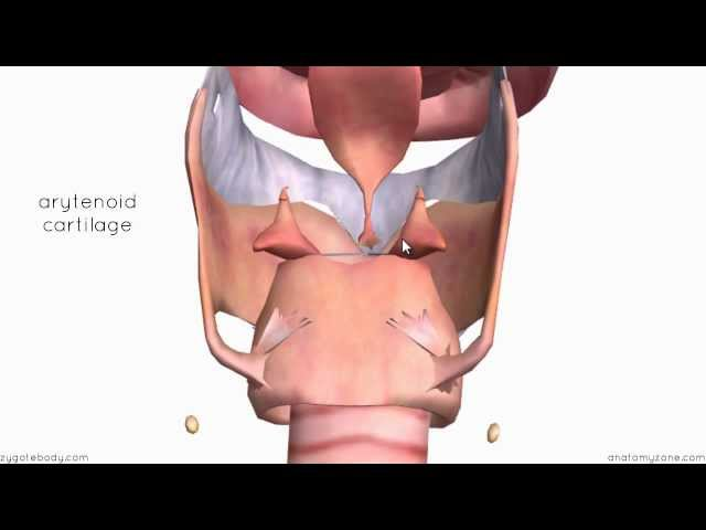 Larynx - Cartilages - 3D Anatomy Tutorial