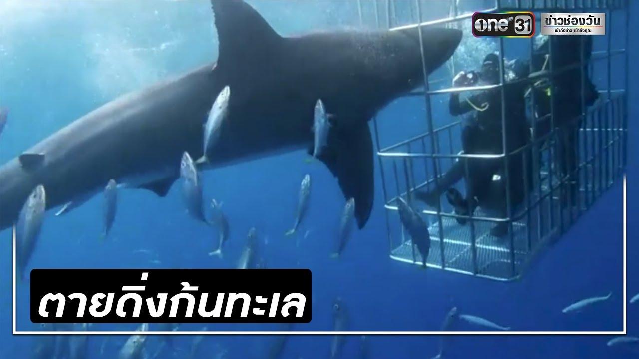 เศร้า! ฉลามขาวพุ่งเข้ากัดกรง นทท.ก่อนตายสลด | ข่าวช่องวัน | one31