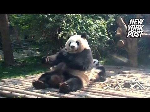 Bad panda mom treats her cub like a pillow   New York Post