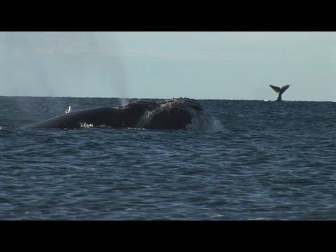 Argentina's protected whales threatened by seagulls
