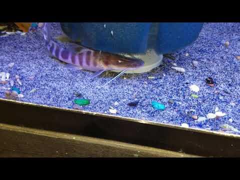 Zebra Shovel Nose Catfish (Merodontotus Tigrinus)