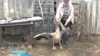 Нежданный перелетный гость: в село Степной Кучук А