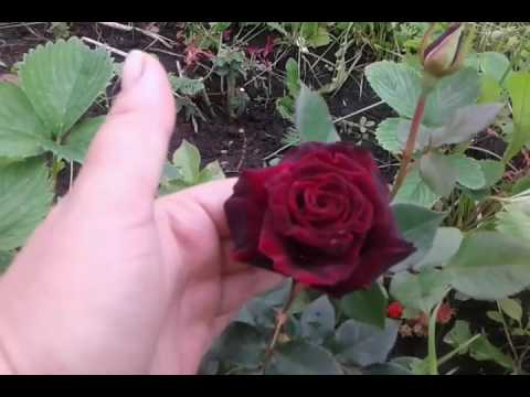 Розы. Блэк Баккара. Поиск.