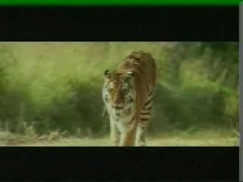 KAAL, The Wildest Tiger Movie Ever Made