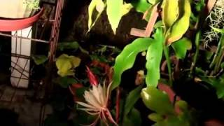 Christ in the Manger aka Night Blooming Cereus.mp4