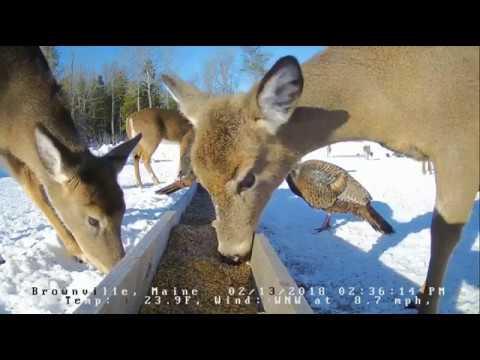 Brownville Food Pantry For Deer~ Bucks, Turkeys & Fox~ 2.13.18