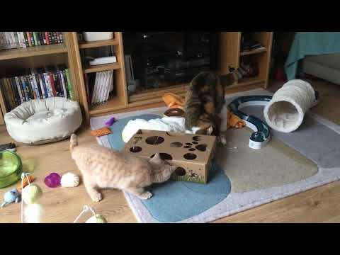 Cat Amazing - British Shorthairs Playing