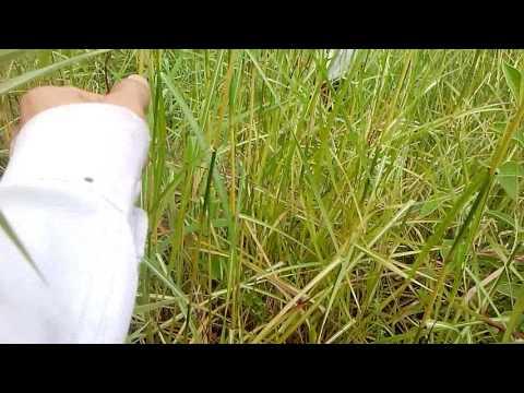 lote de pasto Carimagua (Andropogon Gayanus) finca Buenos Aires, Venadillo Tolima 22/12/16  II