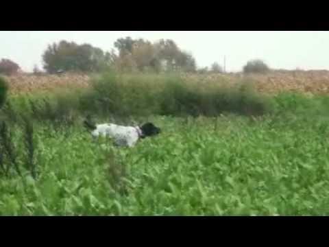 Dressage chien de chasse: Chien d'arret au dressage - YouTube