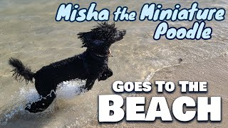 Miniature Poodle Goes to the Beach