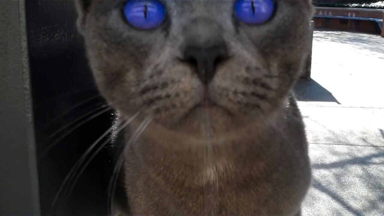 Cat With Lavender Eyes