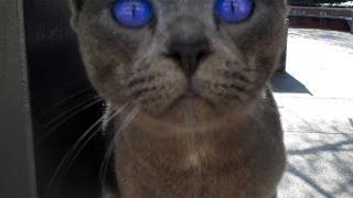 Stray Cat with Insane BLUE Eyes
