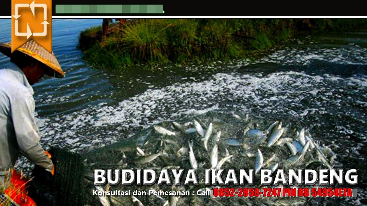 Unduh 51 Gambar Budidaya Ikan Bandeng HD Gratis