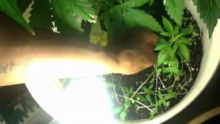 Indoor Closet Weed Plant!!!!!!!