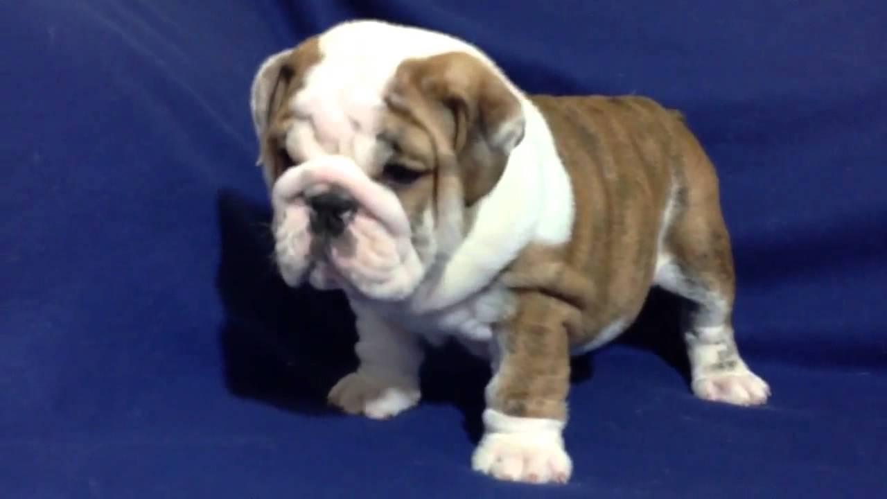 brindle bulldog puppies - goldenacresdogs
