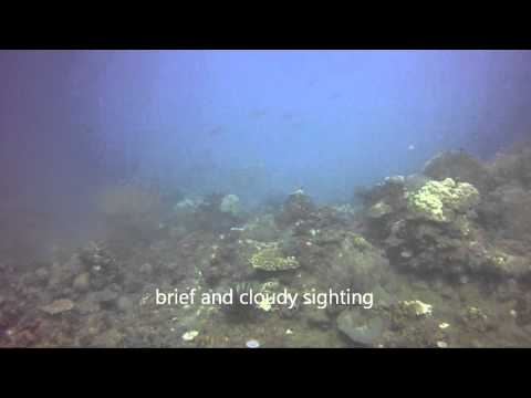 Benazir and Buddy, Sea Turtles at Casabangan Bay, Mansalay, Oriental Mindoro, Philippines