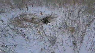 Охота на енота зимой
