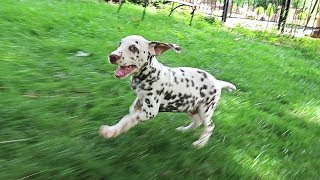 Dalmatian Puppy Playing Tag with Owner