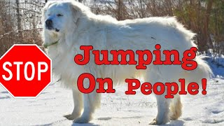 How to get your Great Pyrenees to stop jumping on people.