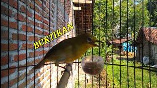 Download Mp3 Ampuh! Pancingan Pleci/perci Agar Perci Lain Ikut Bunyi