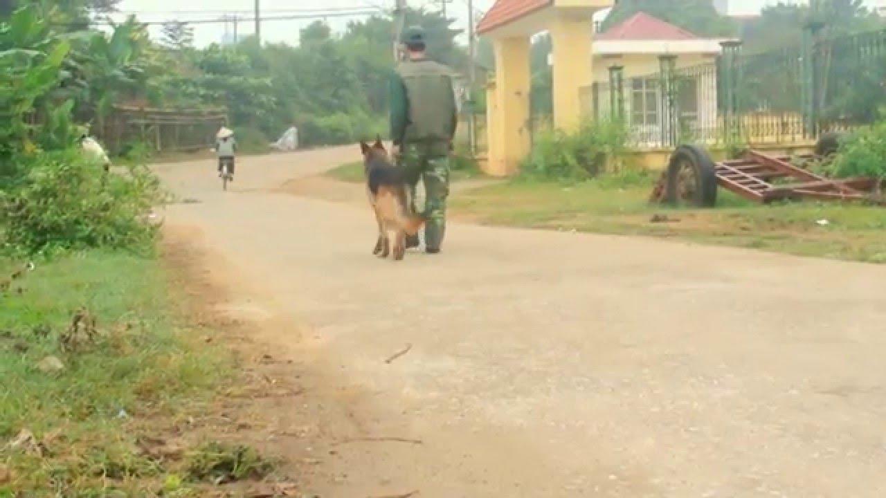 Chó Becgie Qua Huấn luyện Tại Trại Chó Sơn tây