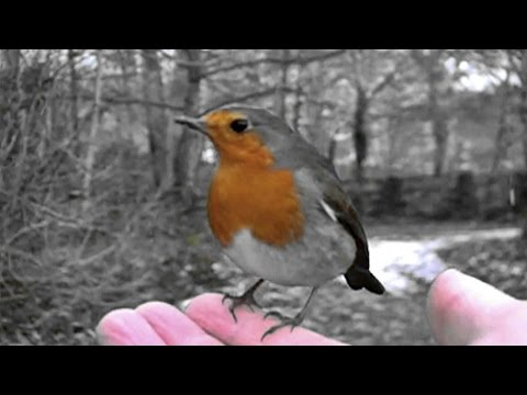 Robin Red Breast UK and European Bird Singing a Beautiful Song - Rougegorge Familier
