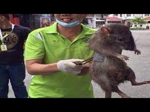 MAN CATCHES GIANT RAT - Real or Fake? thumbnail