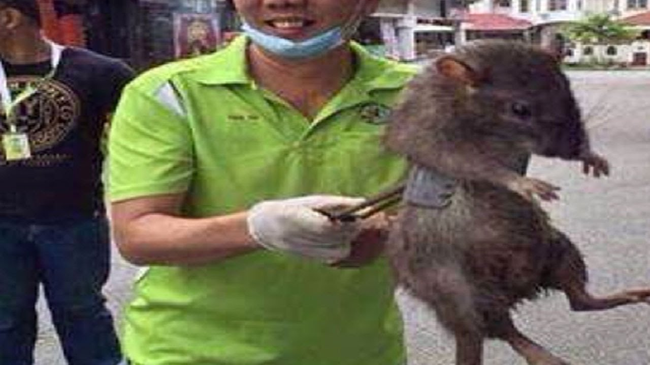 man catches giant rat - real or fake? - youtube