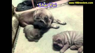 Sharpei, Puppies, For, Sale, In, Olathe, Kansas, County, Ks, Fairfield, Litchfield, Middlesex, Tolla