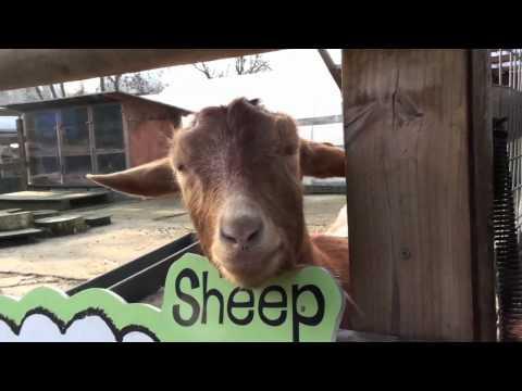 Golden Guernsey Goats at Spitalfields City Farm, London