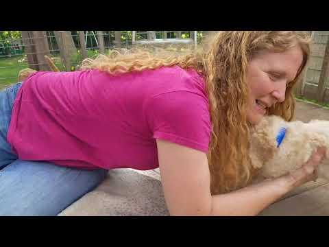 Bluey's Goldendoodle babies 6 weeks old!