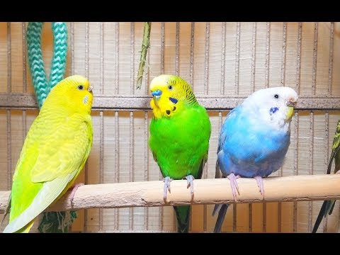 Pleasant American Parakeets Chirping, Singing And Playing. 4Hr Of Relaxation