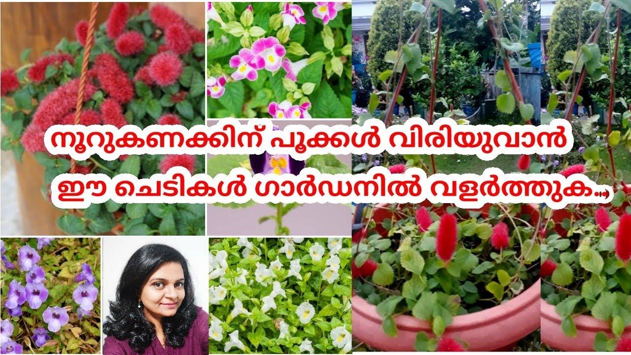നൂറുകണക്കിന് പൂക്കൾ തരുന്ന ചെടി/Torenia/Acalypha Reptans Plant Care/Wishbone Flower/Salu koshy
