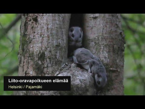 Liito-oravapoikueen elämää (emo