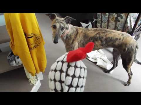 A day in the life of Ella the rescue greyhound!